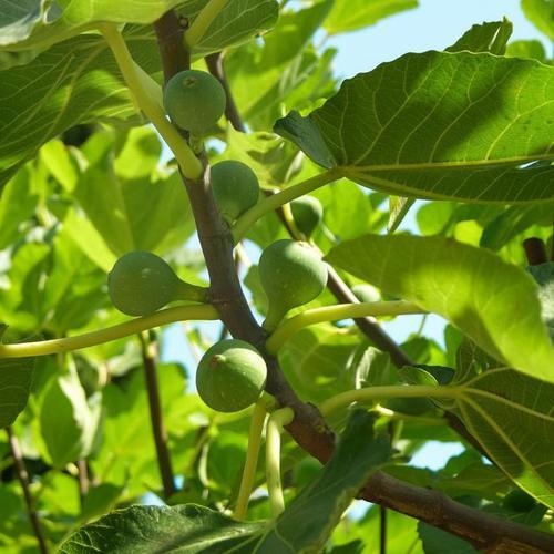 Frucht-Feige Stamm, im ca. 22 cm-Topf