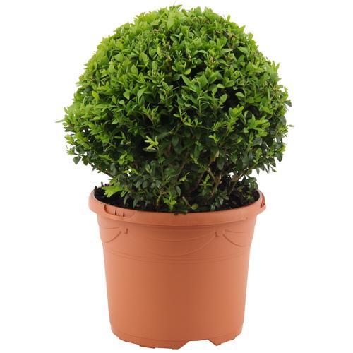 Buchsbaum-Kugel Ø 20 cm, 19 cm Topf