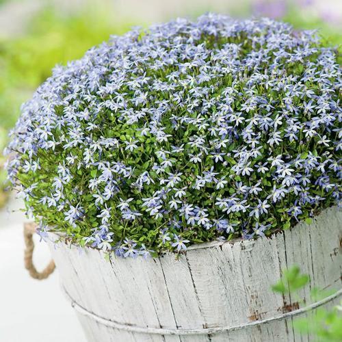 Blauer Bubikopf, im ca. 11 cm-Topf