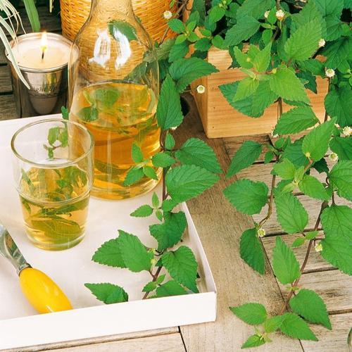 Kräuterpflanze Süsskraut Colada, im ca. 12 cm-Topf
