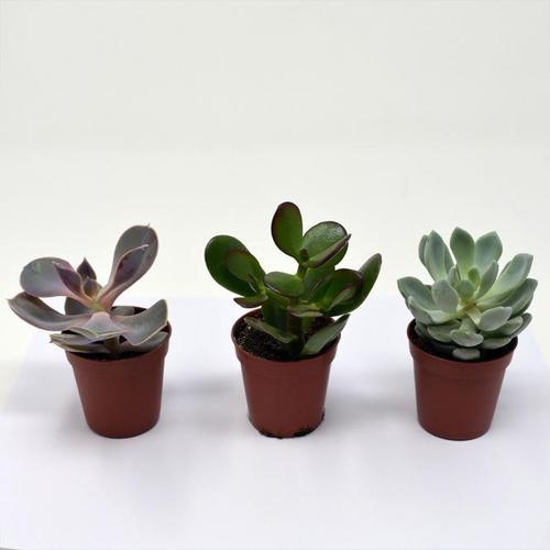 Zimmerpflanzen-Mischung Sukkulenten, 3er Set, im ca. 6 cm Topf