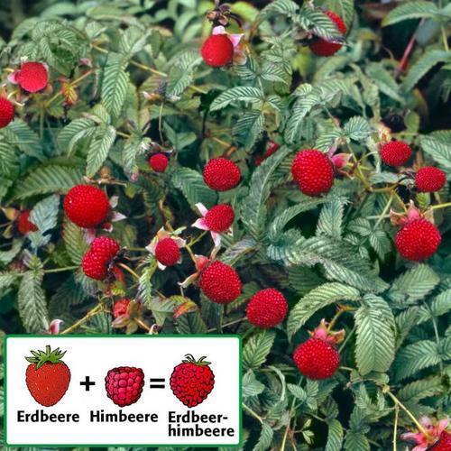 Erdbeerhimbeere, im ca. 23 cm-Topf