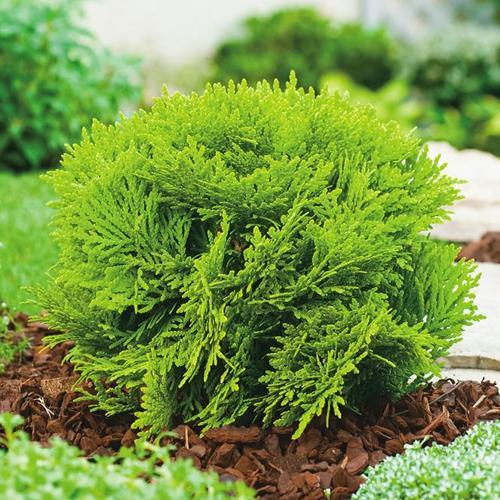 Zwerg-Kugellebensbaum, gelb, im ca. 17 cm-Topf