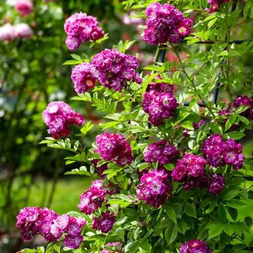 Kletterrose, lila, im ca. 24 cm-Topf