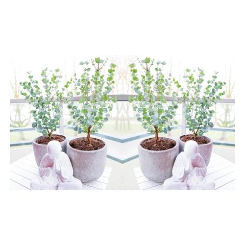 Eukalyptus: 4er-Set