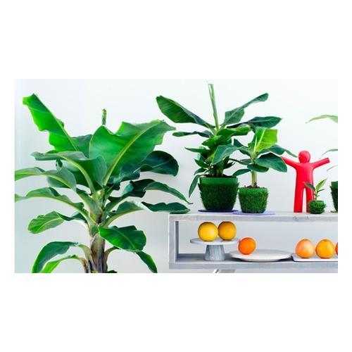 Bananen-Pflanzen: 2er-Set