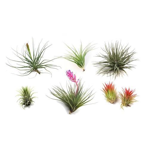 Tillandsien Luft-Pflanzen: 6