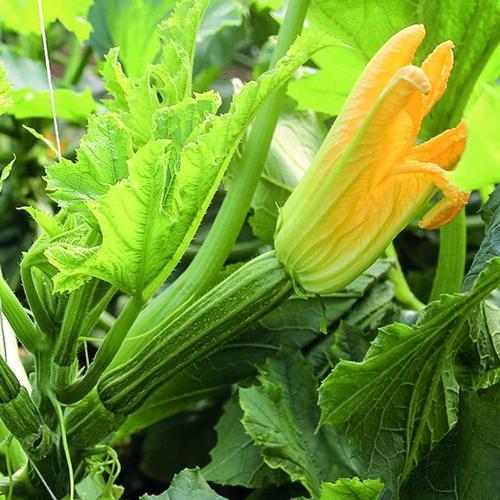 Zucchinisamen Cassia F1