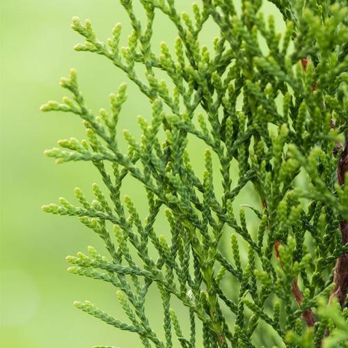 Premium Lebensbaum Smaragd, 120-140 cm