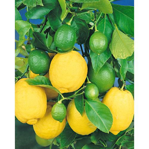BCM Zitronenbaum grün Pflanzen Garten Balkon