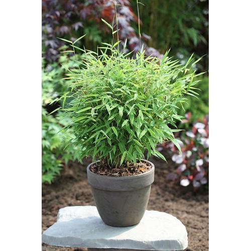 BCM Gehölze Gartenbambus Harewood grün Ziergehölze Pflanzen Garten Balkon