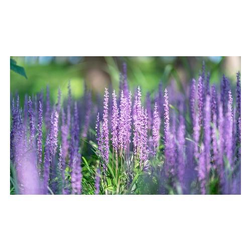 Lilientraube-Pflanze: 2