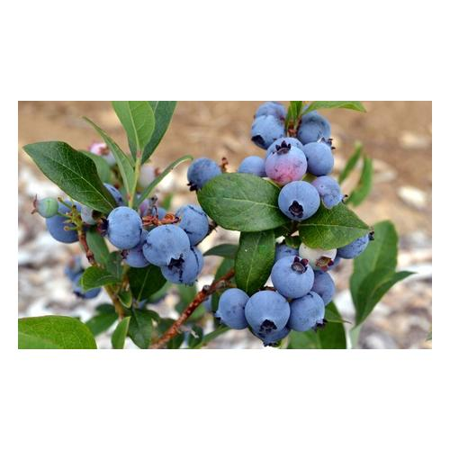 Blaubeere-Pflanze: 6
