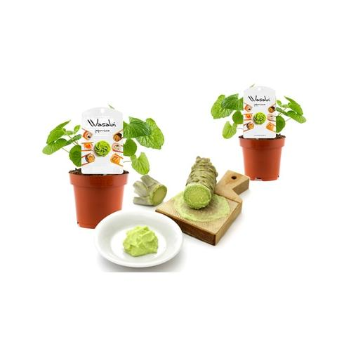 Wasabi-Pflanzen: 4er-Set