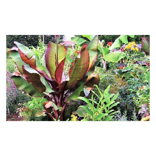 Bananen-Pflanzen : 4