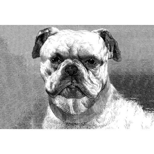 Architects Paper Fototapete Bulldog, Bulldogge, Vlies, glatt grau Fototapeten Tapeten Bauen Renovieren