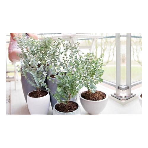 Eukalyptus Gunni: 1