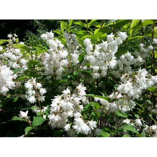 Maiblumenstrauch (Deutzia) in XL, 2 Pflanzen