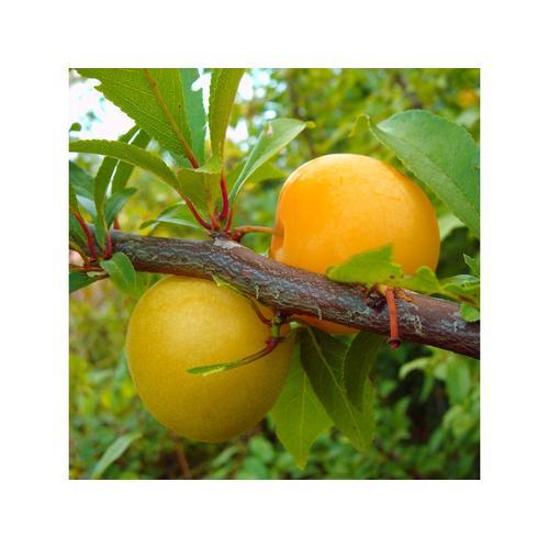 Japanische Pflaume 'Shiro', 1 Buschbaum
