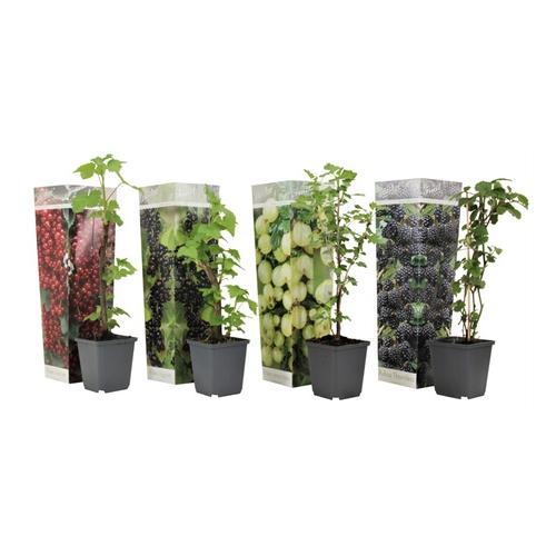 Beerenpflanzen: 8er-Set Beerenpflanzen
