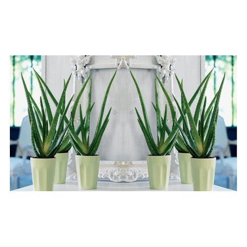 Aloe Vera: 4 Pflanzen