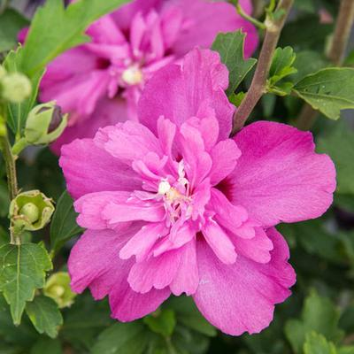 Raspberry Smoothie Hibiscus
