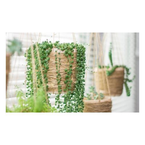 Erbsenpflanze : 2