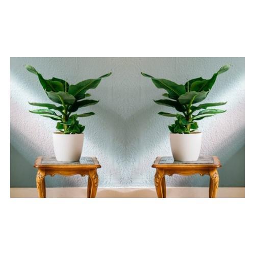 Bananenpflanzen: 2