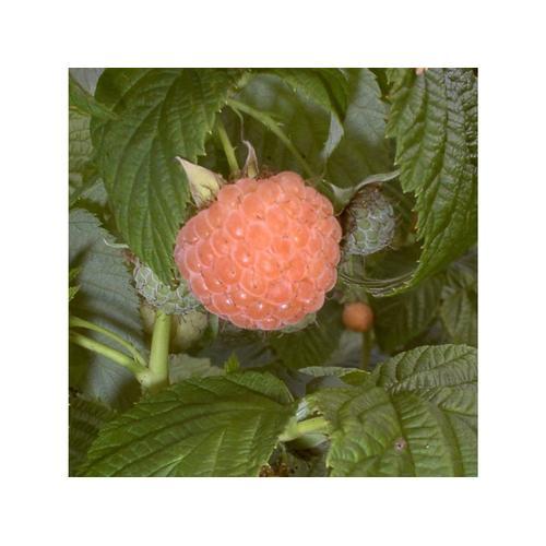 Himbeere 'Fallgold', 1 Pflanze im 2 Liter Topf