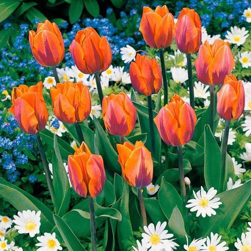 Tulpe Prinzessin Irene