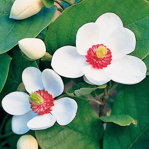 Sommer-Magnolie, im ca. 19 cm-Topf