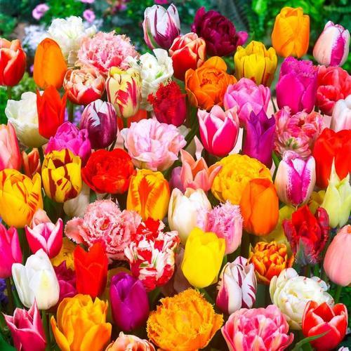 Mischung bunter Tulpen-Garten