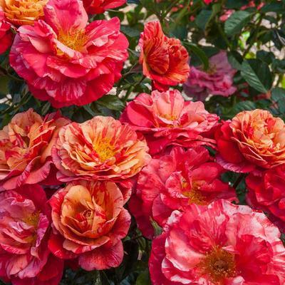 Frida Kahlo Floribunda Rose