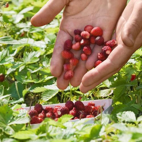 Monatserdbeere, im ca. 9 cm-Topf