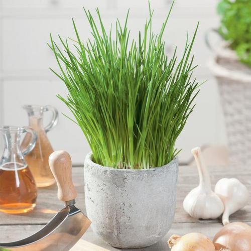 Kräuterpflanze Schnittlauch Staro, im ca. 12 cm-Topf