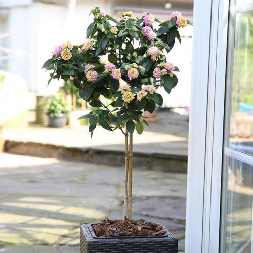 Wandelröschen-Stamm, rosa, im ca. 19 cm-Topf