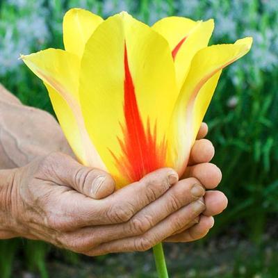 Lefeber Hybrid Tulip Hocus Pocus