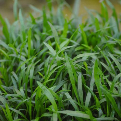Brasilianische Graspflanze, im ca. 10,5 cm-Topf