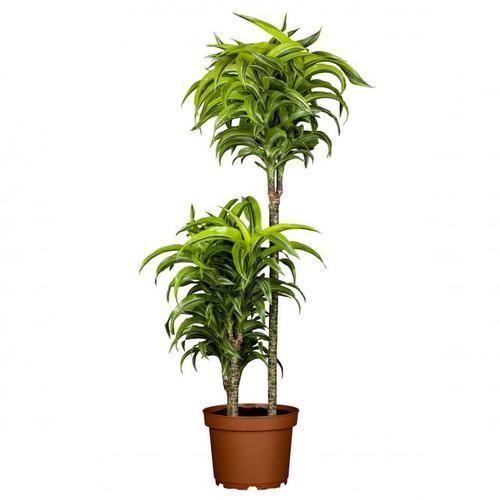 Drachenbaum Fragans, 2er Tuff, im ca. 19 cm-Topf