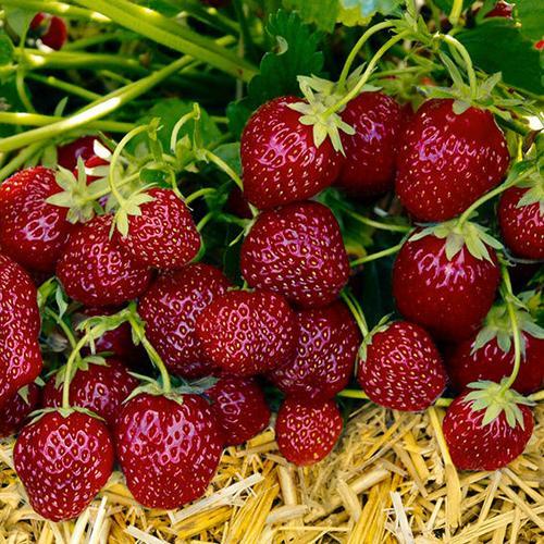Aroma-Erdbeere, im ca. 9 cm-Topf