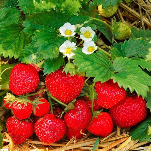 Erdbeere Jubilee, im ca. 9 cm-Topf