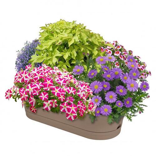 Sommerblumen-Set Kunterbunter Kasten, im ca. 11/12 cm-Topf